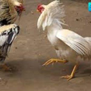 Panduan Mendaftar Ayam Laga Indonesia Bagi Bettor Pemula